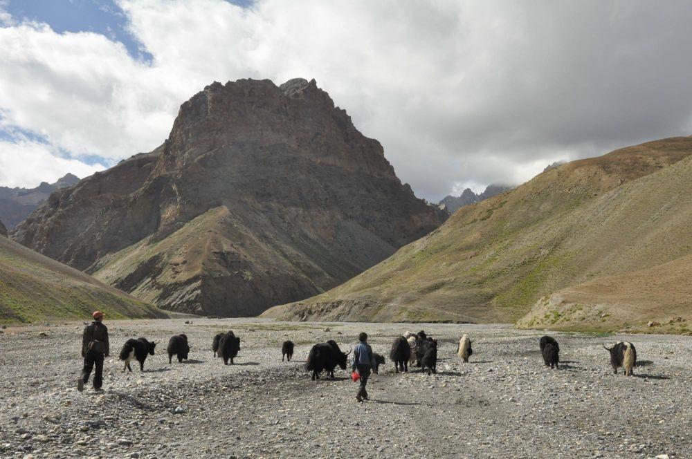 yacks et dzos Ladakh Faune