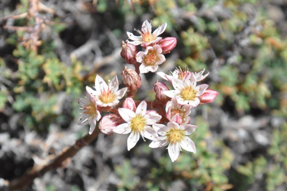 Plante dans la région ladakhi, dans l'Himalaya
