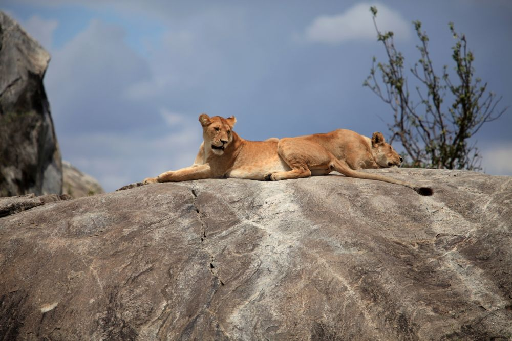 Lionnes sur Kopje - Serengeti
