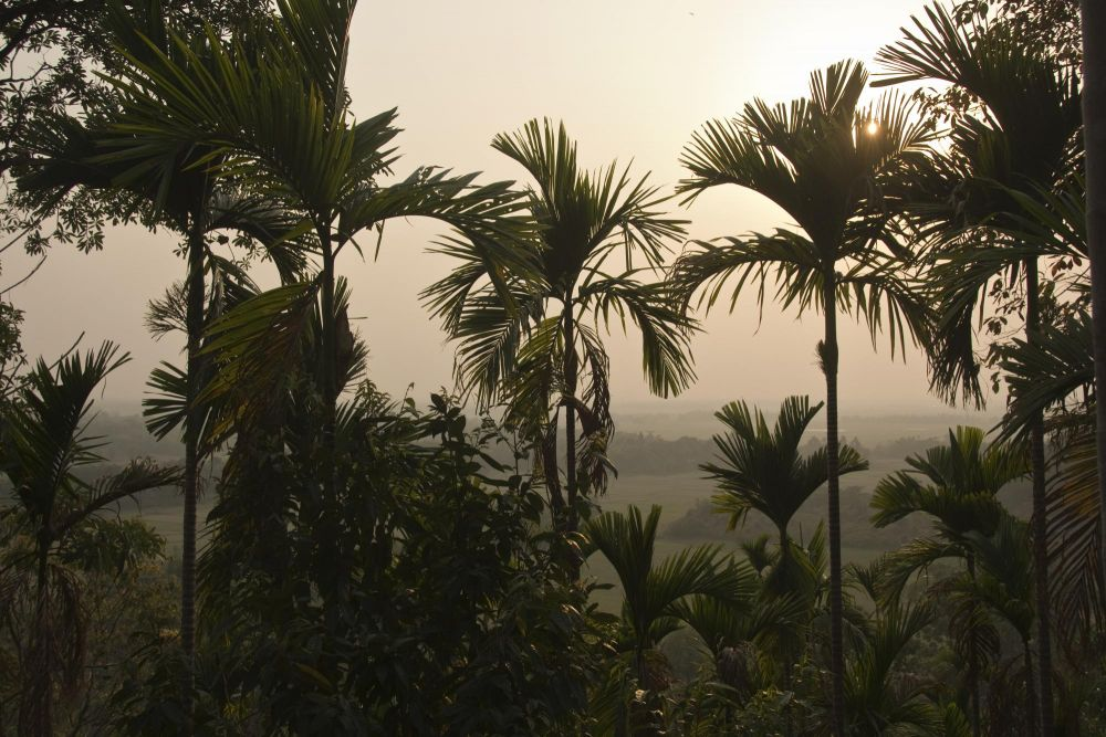 plantation de betel, avec vue sur le Bangladesh, Meghalaya