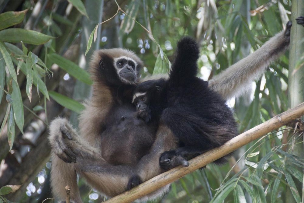 femelle gibbon allaitant son petit, Assam