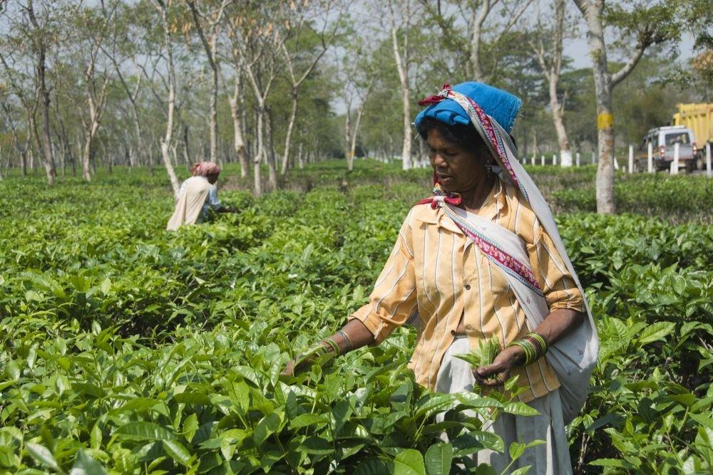 cueillettes en plantation de thé, Assam