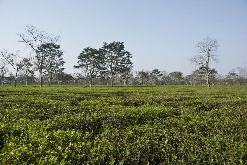 plantation de thé, Assam