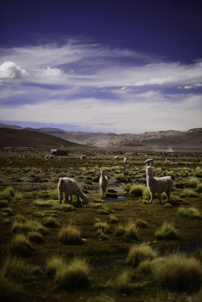 Lamas sur un pâturage de l'Altiplano argentin, Tolar Grande