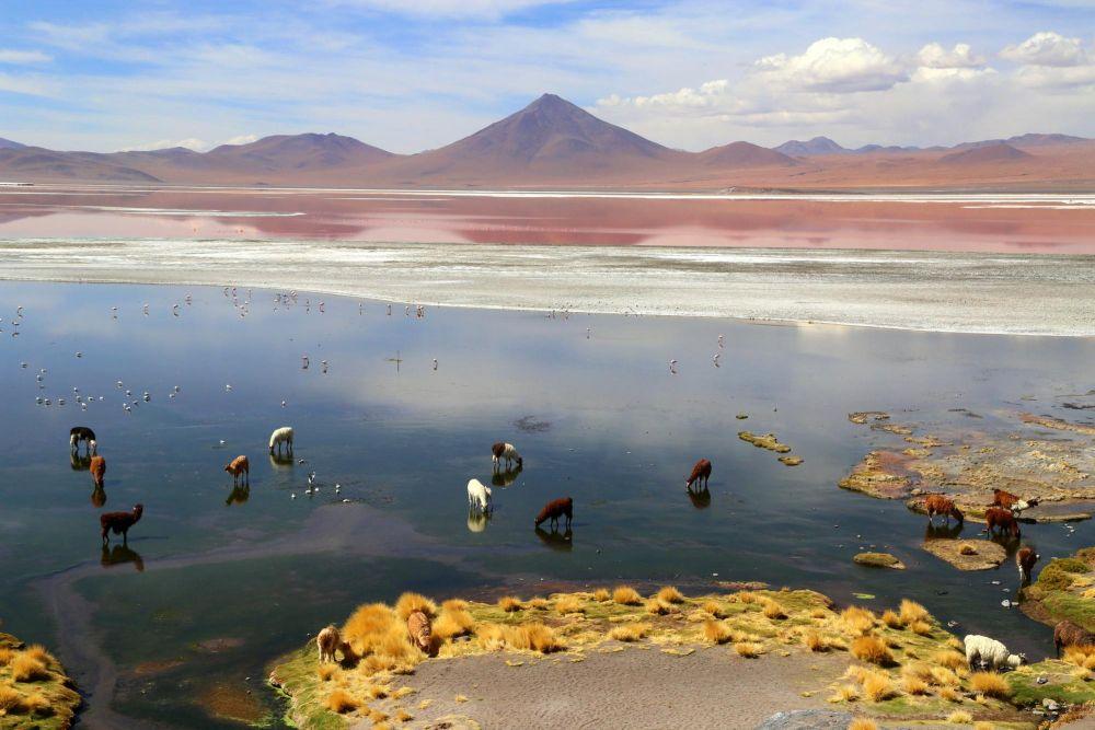 Lamas en pâturage sur les rives de la Laguna Colorada, Bolivie