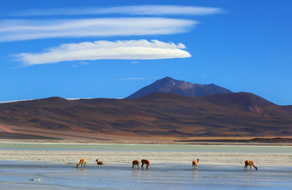 Vigognes sur les rive d'une lagune altiplanique, Bolivie