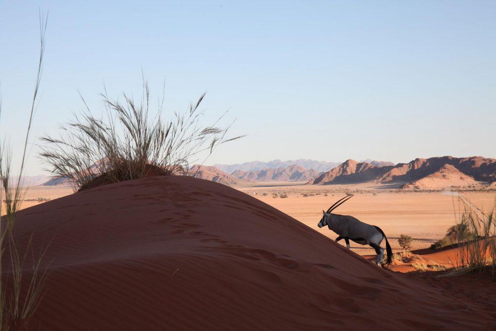 Oryx sur dune Namib