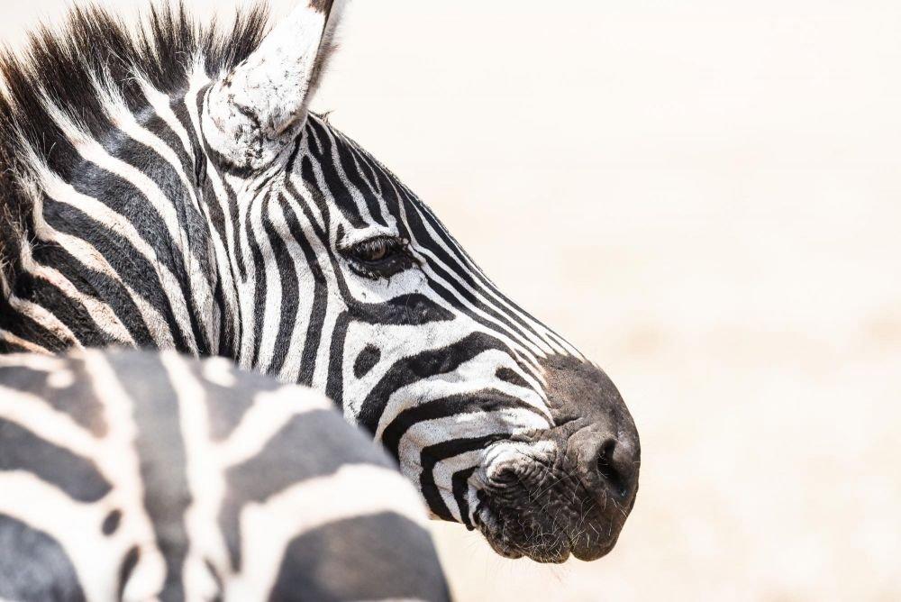 zèbre Maasai Mara