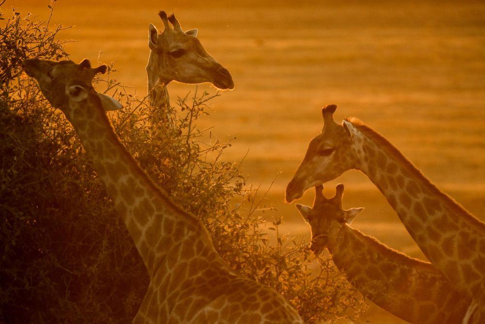 girafes au Botswana