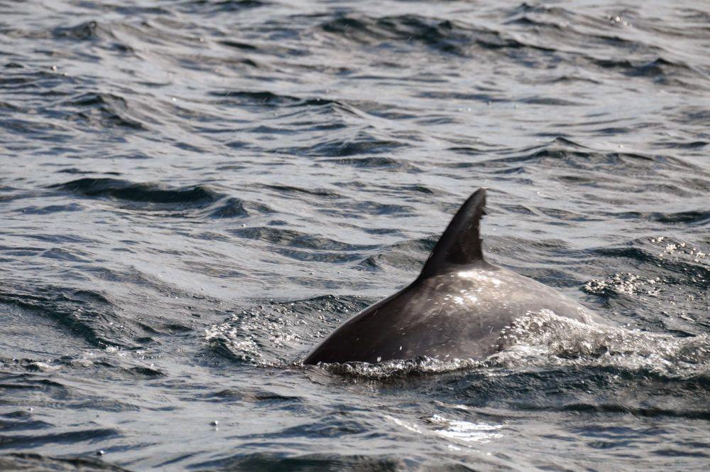 dauphin Mozambique