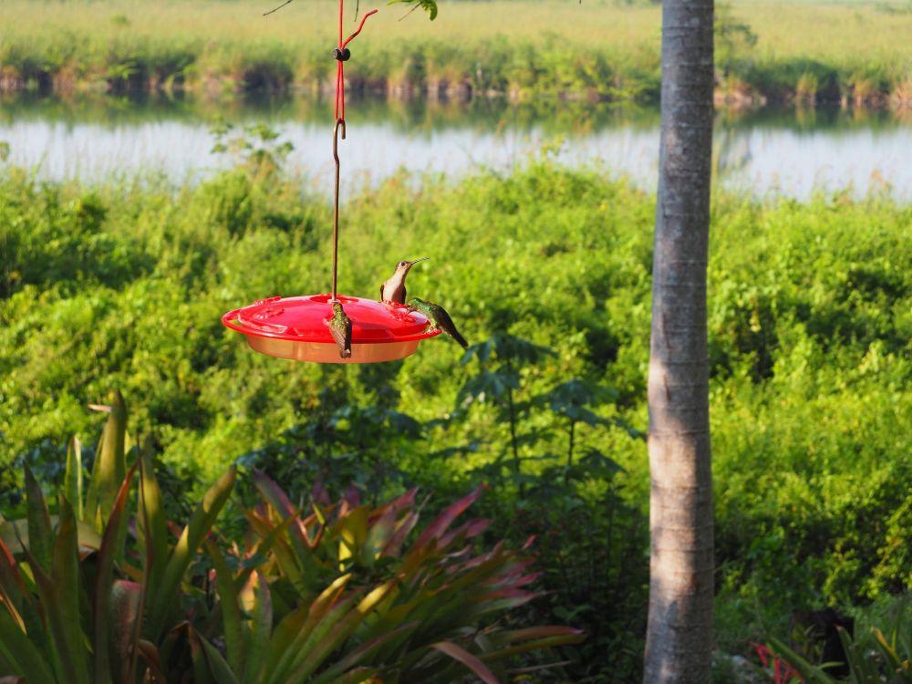 Colibris sur une mangeoire, region de Peten, Guatemala