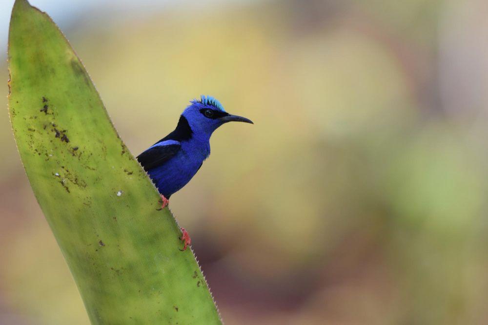 Guit-guit Saï, aussi appelé sucrier à jambe rouge (Cyanerpes cyaneus), petit passereau du Guatemala, dan la région de Tikal