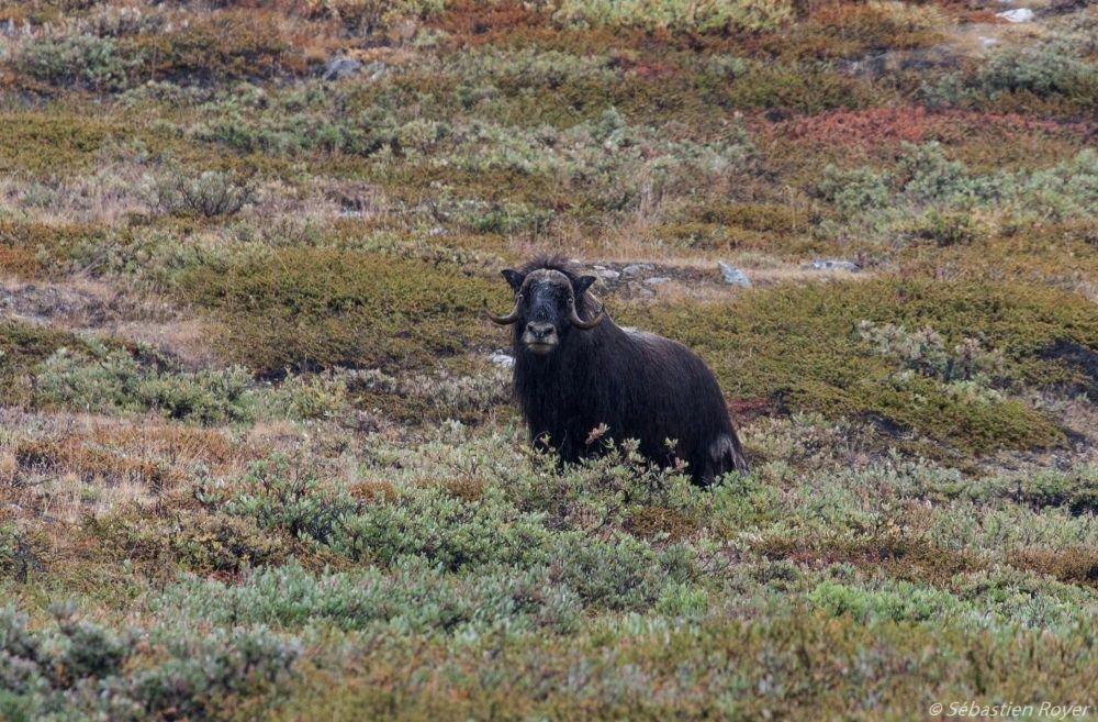 Boeuf musqué sur les rives du Scoresby Sund au Groenland