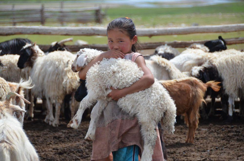 fillette mongol et son troupeau de moutons