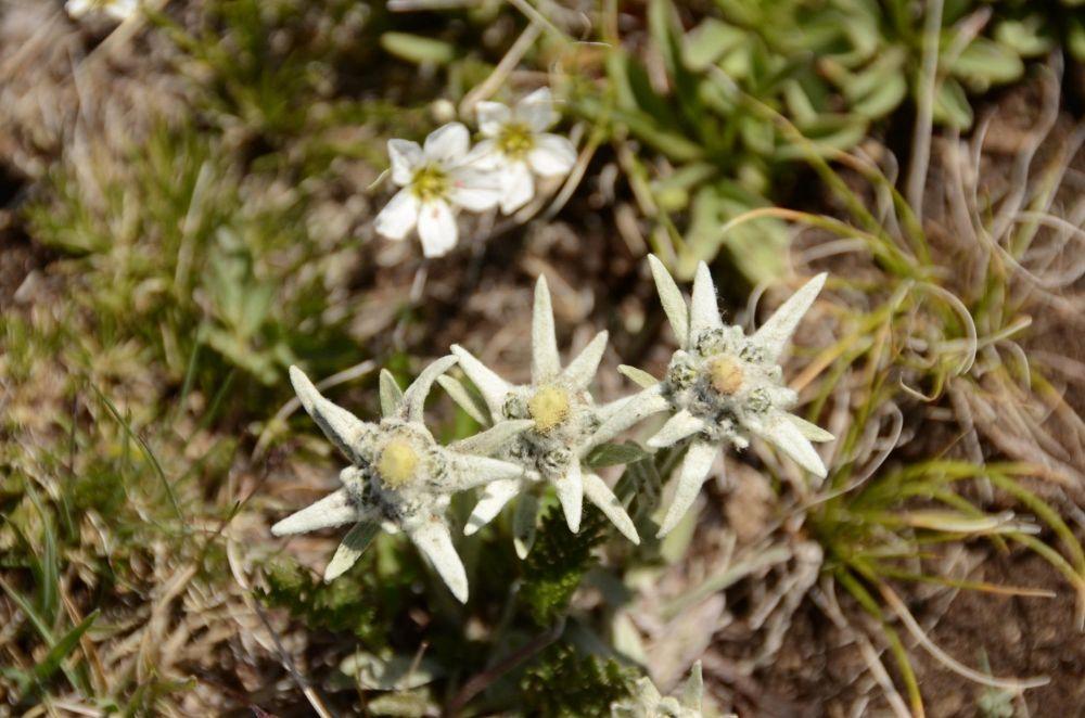 tapis d'edelweiss