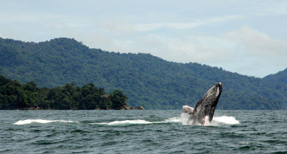 Baleine à bosse, Côte pacifique du Choco, Colombie