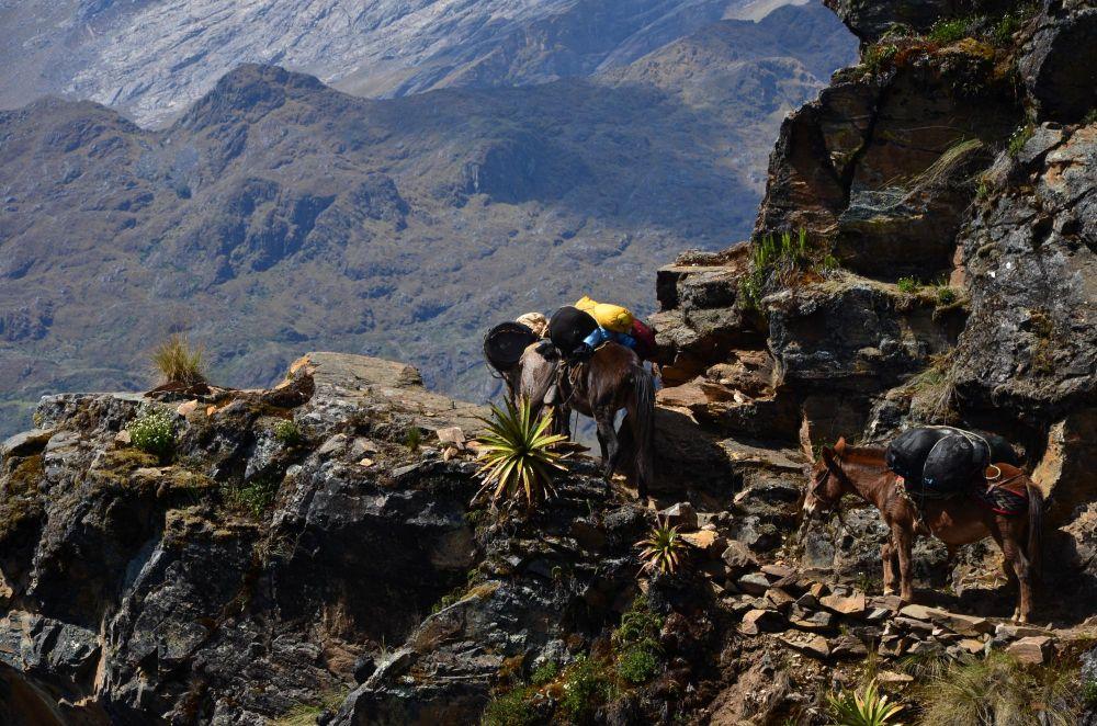 Mules transportant notre logistique de trek, Trek de Choquequirao, Pérou