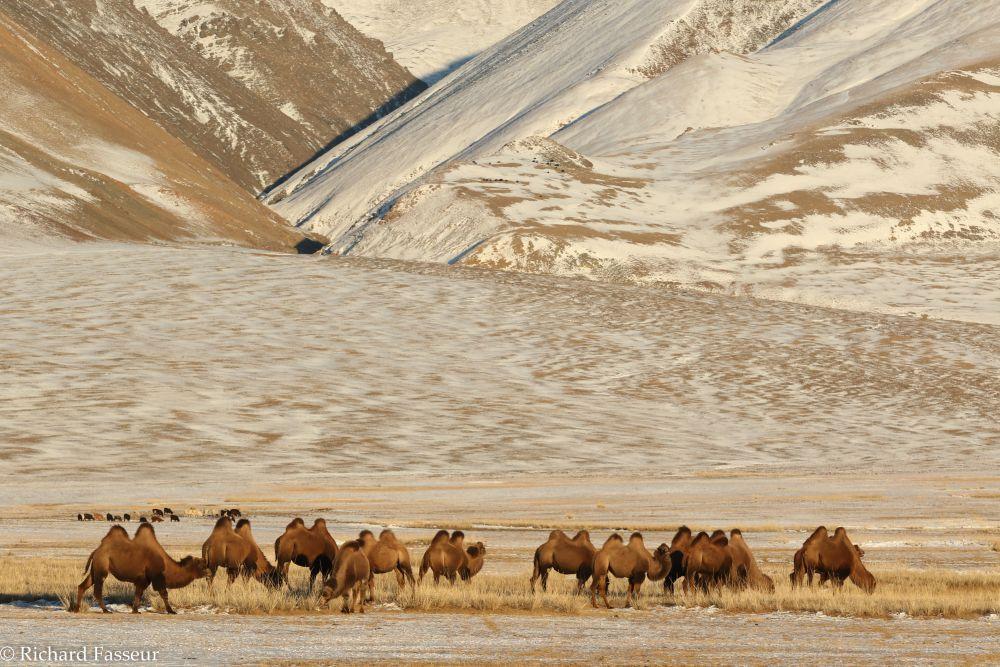 Chameaux de Bactriane lors d'un voyage en Mongolie