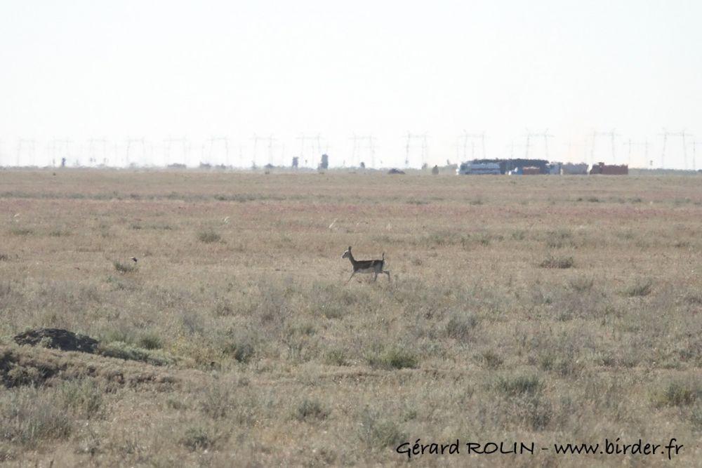 Gazelle à goitre Kazakhstan