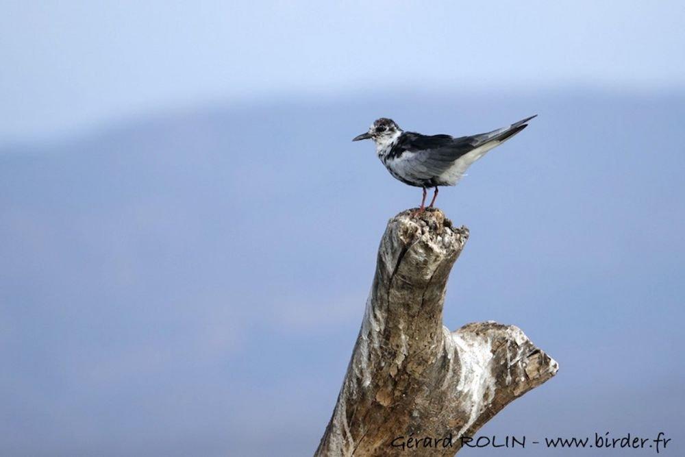 Guifette leucoptère Kenya