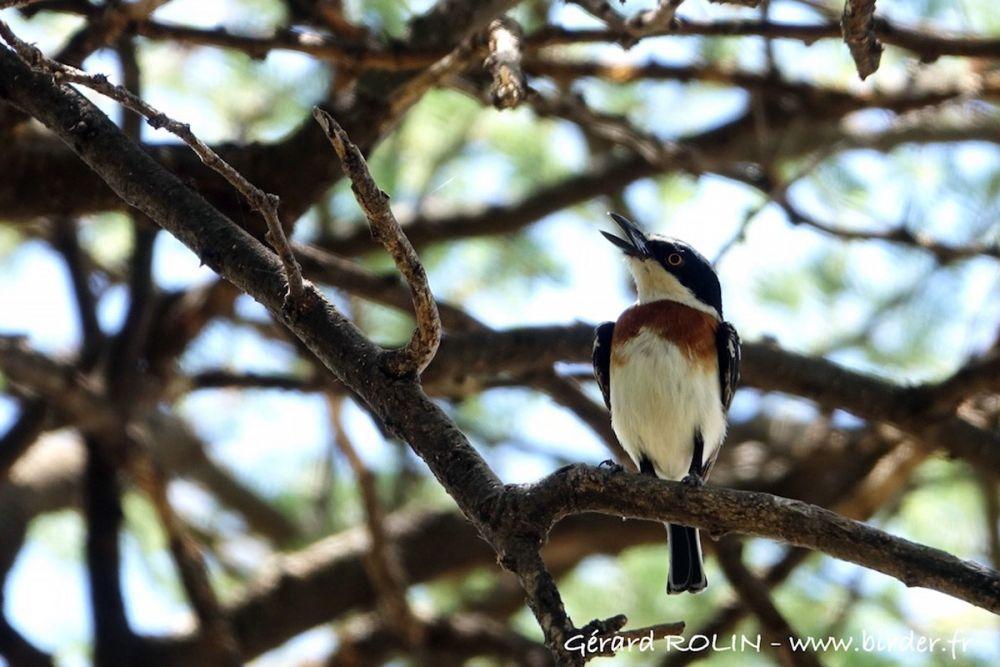 Pirit pygmée Kenya