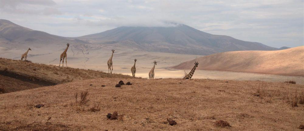 Une famille de girafes plaine de Tanzanie