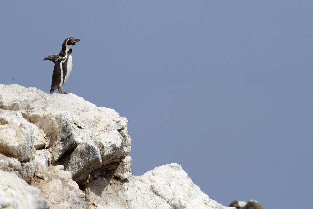 Manchot de Humboldt dans la réserve de Punta coles, Pérou