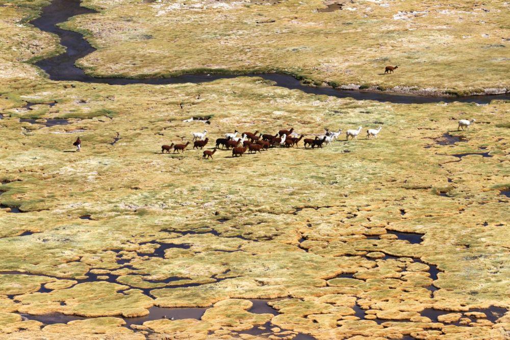 Troupeau de lamas sur l'Altiplano, réserve de Lauca, Chili