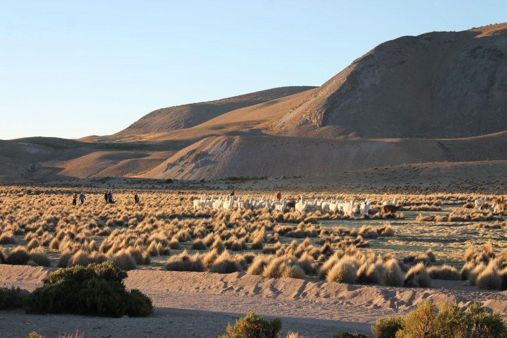 troupeau de lama de nôtre amphitryon Don Agustín, réserve de Lauca, Chili