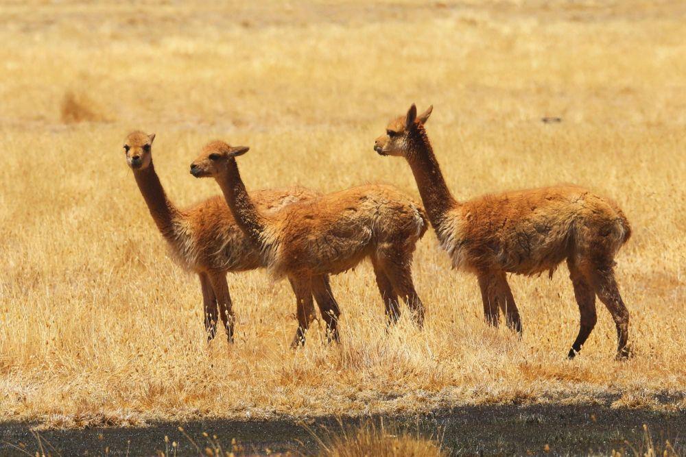 Jeunes vigognes sur une pampa altiplanique