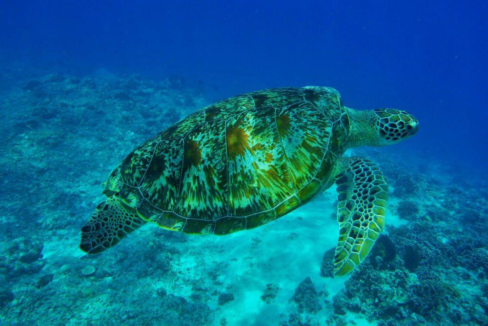tortue à bali