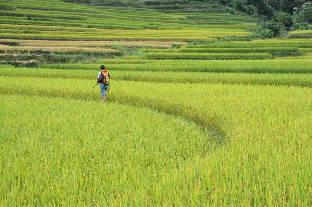 Rizière du nord vietnam