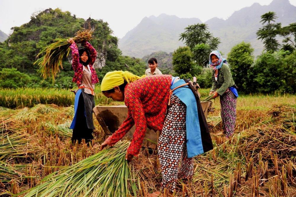 femme recoltant le riz