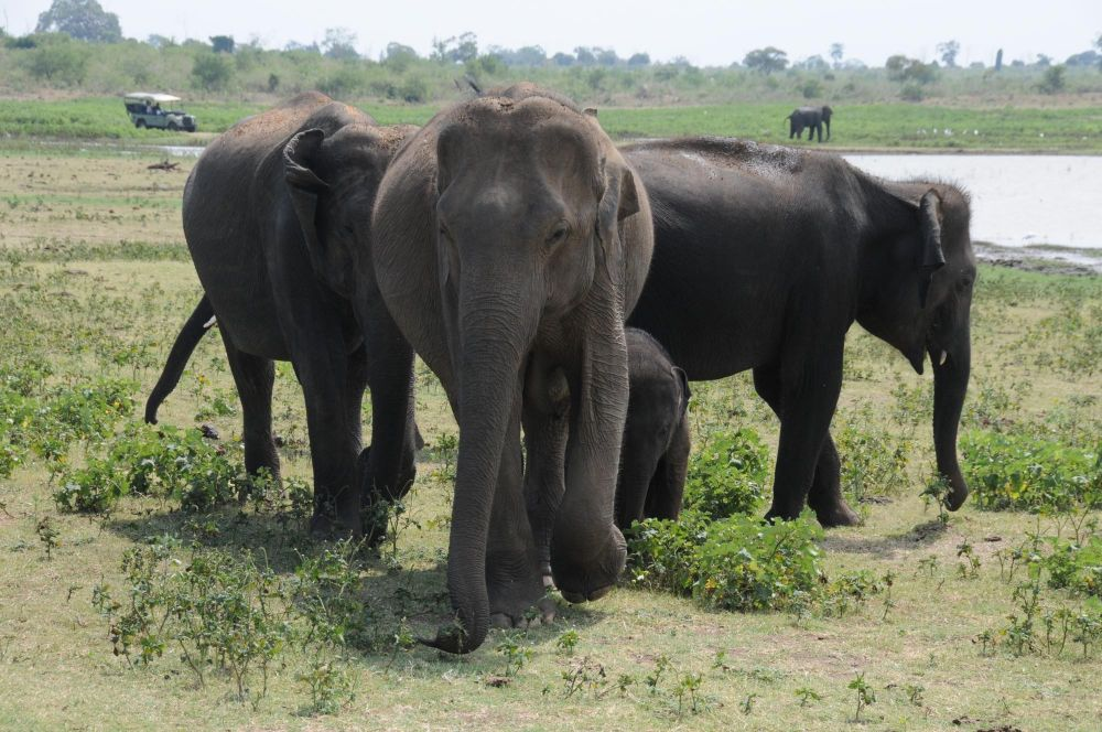 elephants dans le parc d'udawalawe