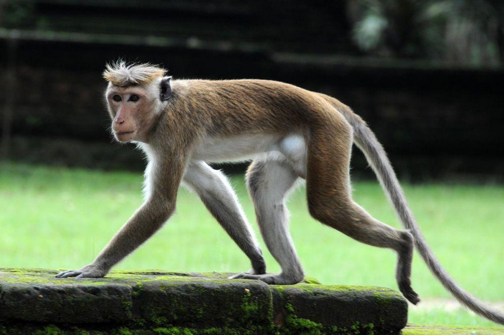 singe dans les temples