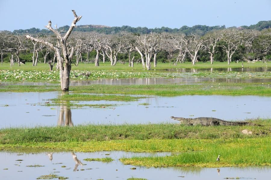 crocodile en safari