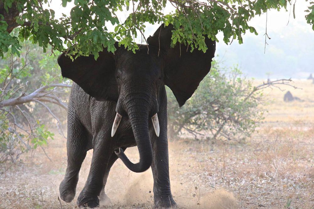 Eléphant parc de Liwonde