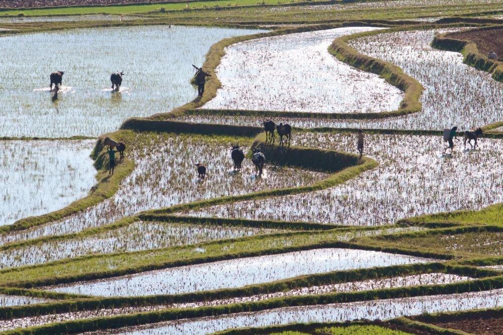 rizières des hautes terres malgaches