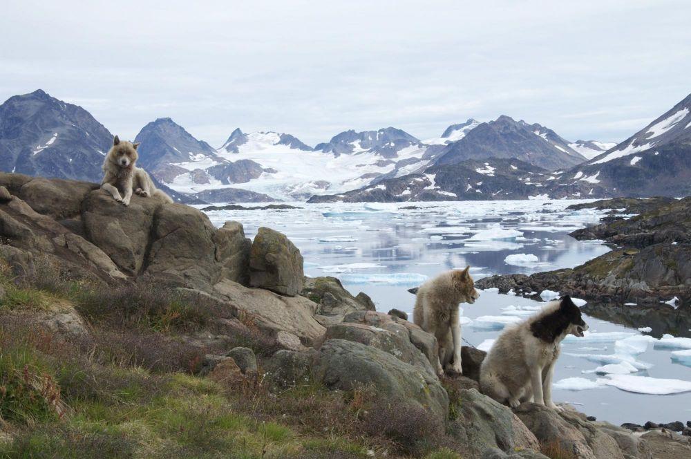 Chiens groenlandais à Kulusuk au Groenland