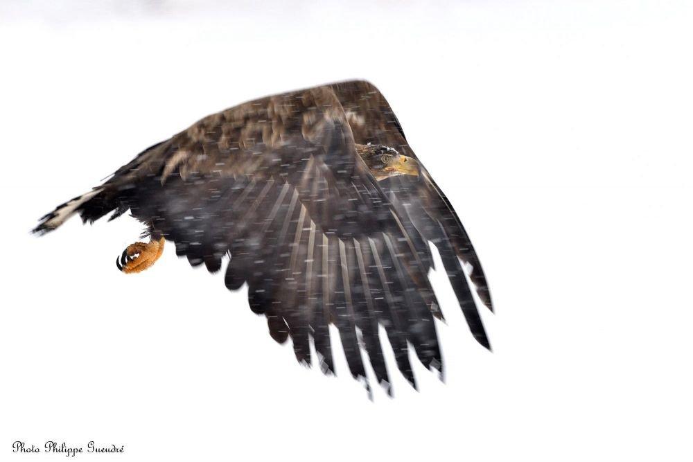 aigle pygarque en vol