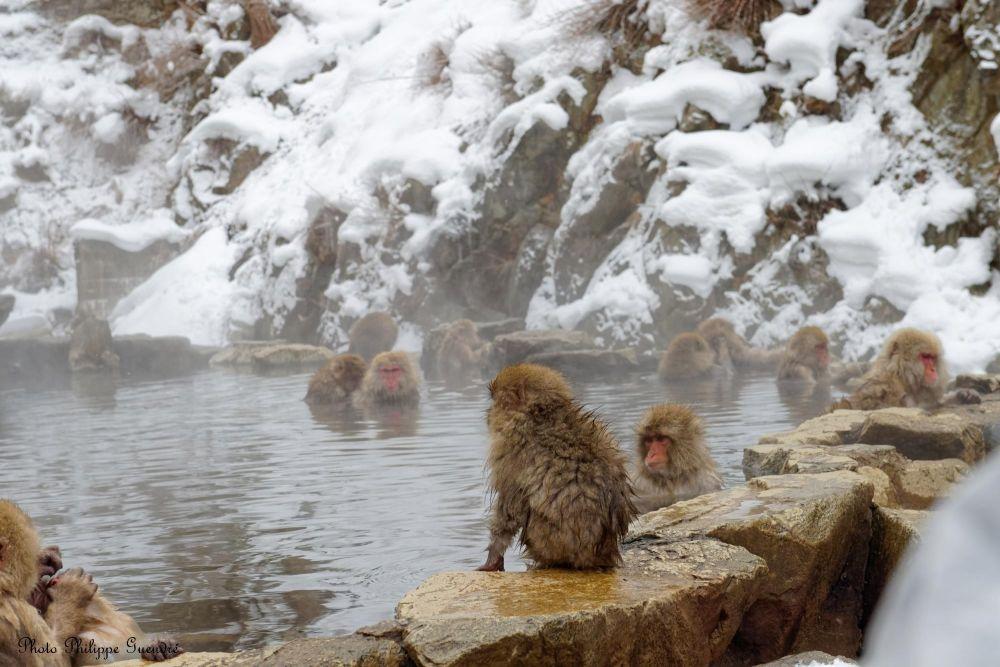 macaque dans les onsen
