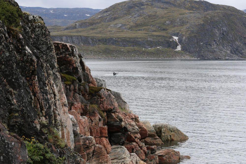 Baleine dans la baie de Disko au Groenland