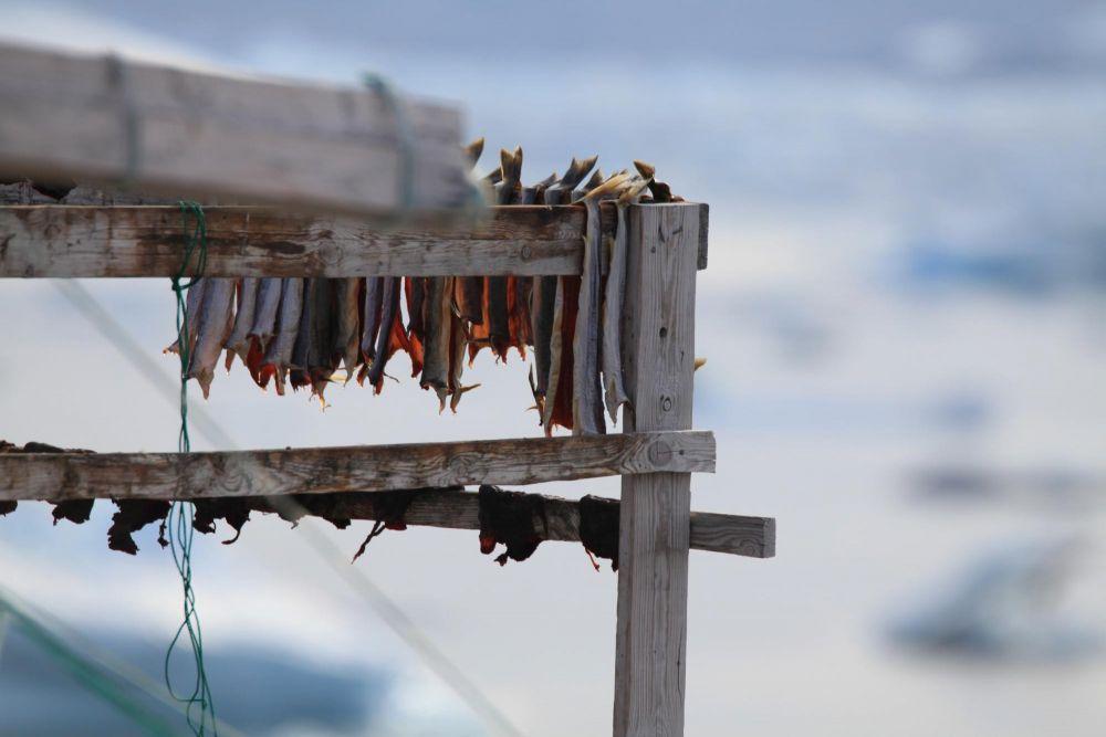 Séchage des filets d'omble à Tiniteqilaaq au Groenland