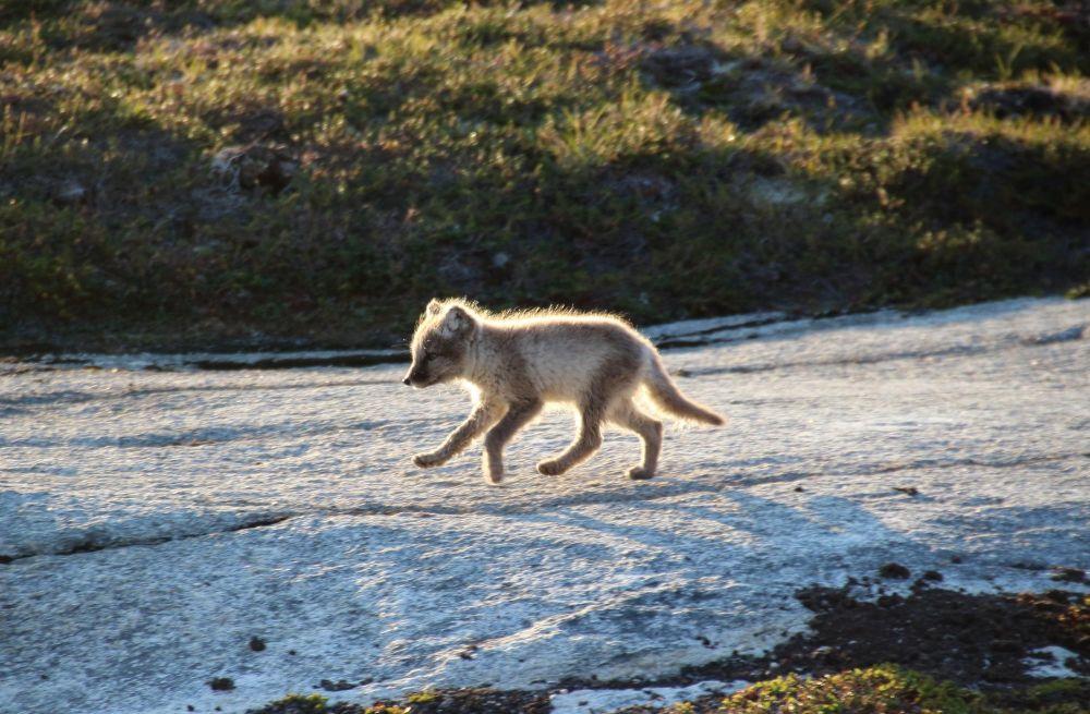 Renard polaire au Groenland