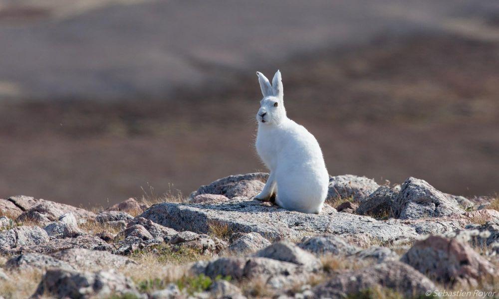 Lièvre arctique sur les rives du Scoresby Sund au Groenland