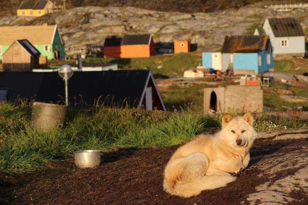 Chien groenlandais à Oqaatsut dans la baie de Disko au Groenland