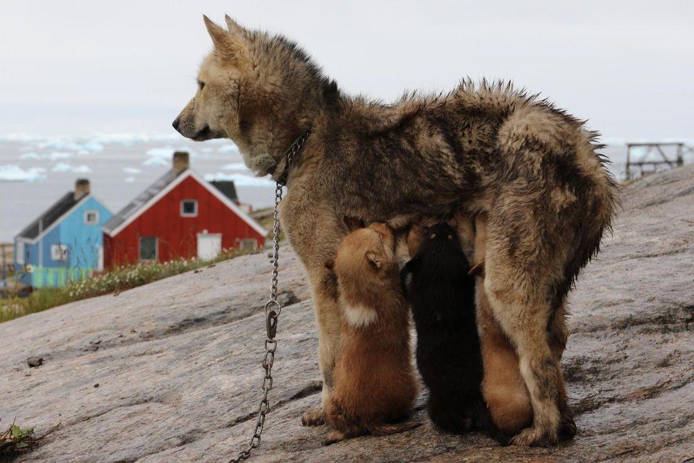 Chienne groenlandaise et ses petits à Oqaatsut dans la baie de Disko au Groenland