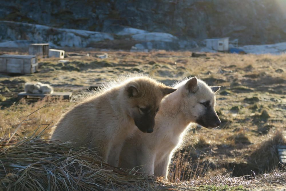 Chiots groenlandais à Kangerlussuaq au Groenland