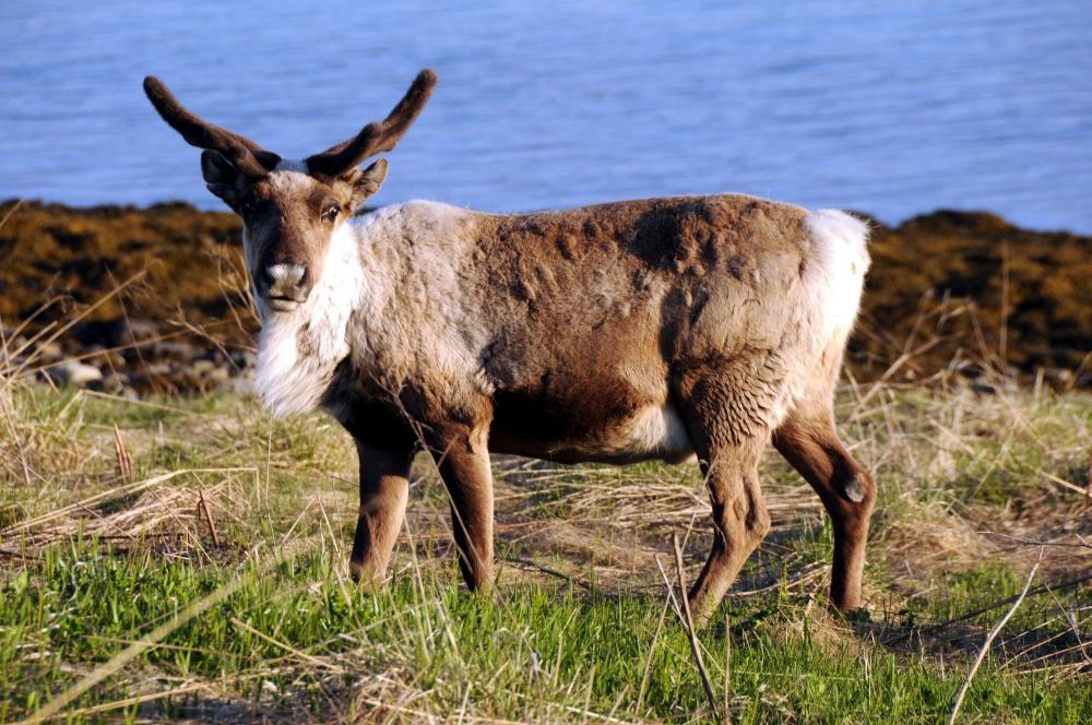 Renne dans les îles Lofoten en Norvège