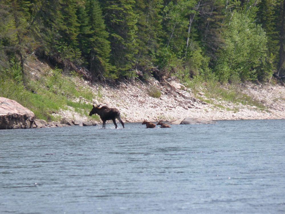 Orignaux dans la rivière au Canada